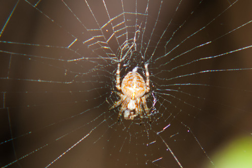 Cross spider in its web