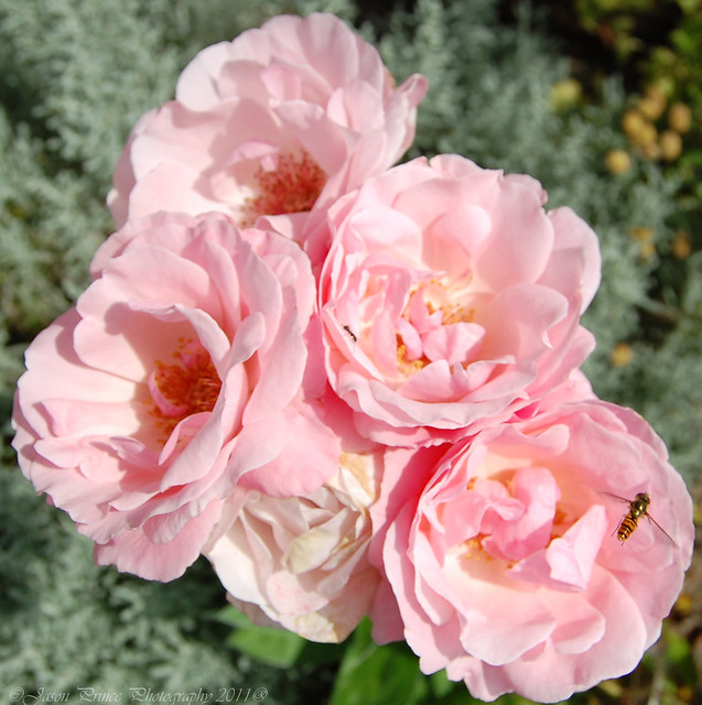 pink roses with hoverfly