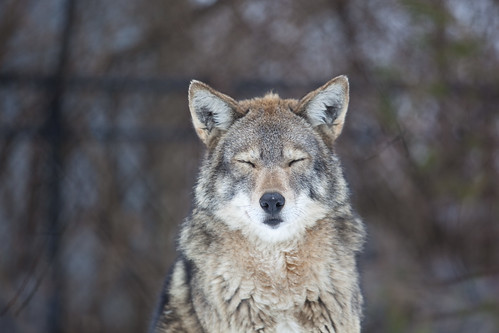 It's f'n cold! Sez the coyote. | by Christian Yates