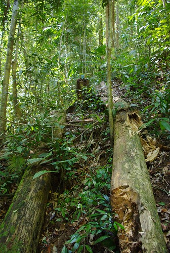 Wed, 11/04/2009 - 11:45 - Gaharu tree, Aquilaria sp., fallen by poacher. Credit: Min Sheng Khoo