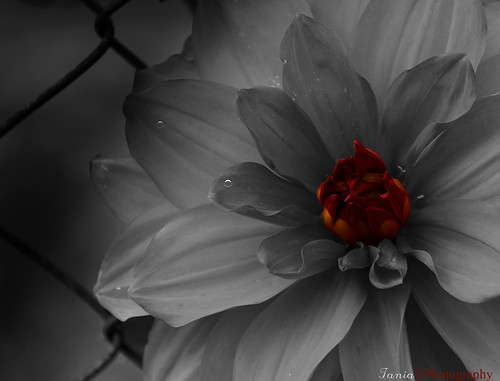 red bw white black flower macro art closeup canon photography flickr dof image bokeh redflower 400d tamron18250f35