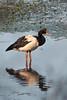 Magpie Goose by brettm8