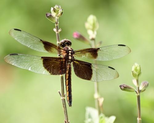 dragonfly © widowskimmer libellulaluctuosa garyburke zuiko70300mm olympuse620