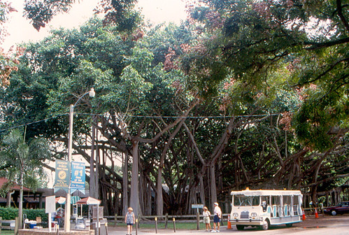 tree museum florida 1998 ftmyers edison banyan fortmyers thomasedison