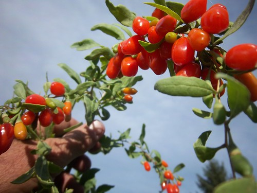 mongolian goji berries   by naturalflow