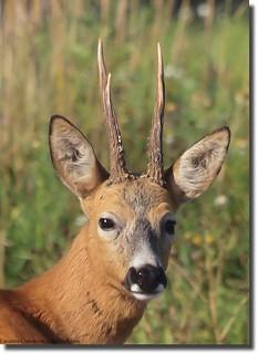 Roa deer (Capreolus capreolus) | by Billy Lindblom