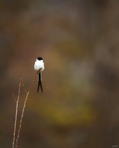 nature birds canon wildlife 7d vagrant flycatcher wildbirds 600mm forktailedflycatcher