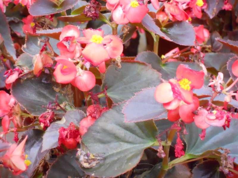 Begonia semperflorens 2