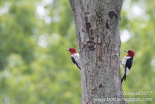 Red-Headed Woodpeckers | by Bothering Birds