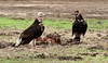 White-headed Vultures by zimbart