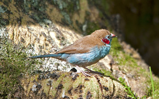 Red-cheeked Cordonbleu | by Sergey Yeliseev