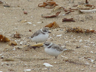 Western snowy plovers, Charadrius alexandrinus nivosus | by lamoustique
