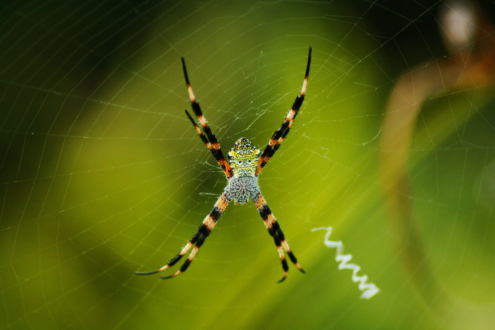 Hawaiian Sugar Cane Spider 73365 Wwwlarryreevesinfo 20 Flickr