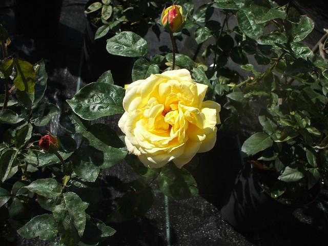 Rose: Edel-Rose / Teerosen-Hybrid 'Gloria Dei' 1109201001