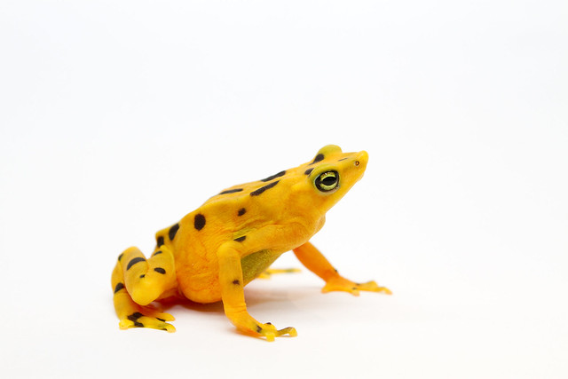 Panamanian Golden Frog female Atelopus zeteki