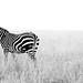 zebra landscape
