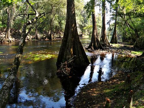 O'Leno State Park: Cypress Line-up | by Phil's 1stPix