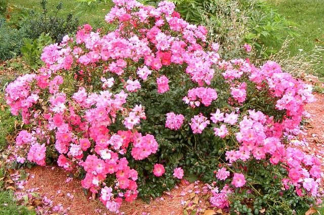 ** Les roses de Louise **