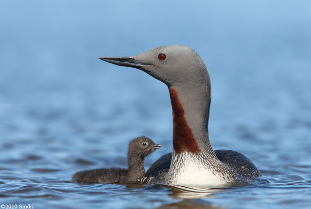 Red-throated-Diver (Lómur)-86