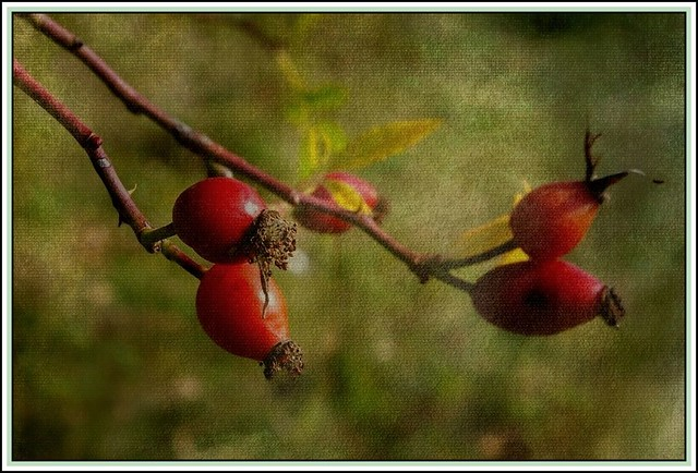 Hawthorn fruits