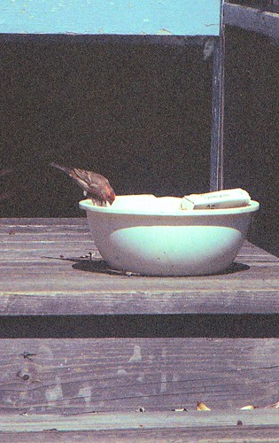 House Finch PH 1995 1 | by THE Holy Hand Grenade!