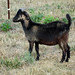 Goat Test  2010