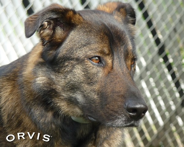 Orvis Cover Dog Contest - Zachary | I used to be a shepherd