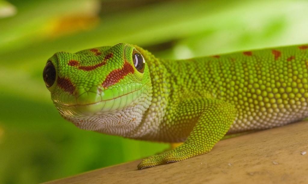 Madagascar day gecko (Phelsuma grandis) | Frupus | Flickr