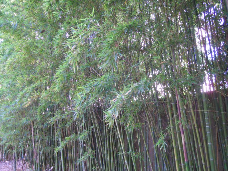 Cuidados básicos del bambú
