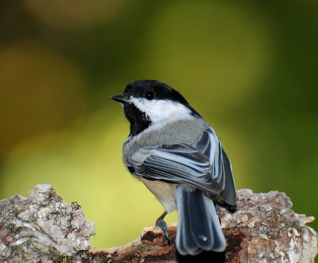 Blk Capped Chickadee Rearview