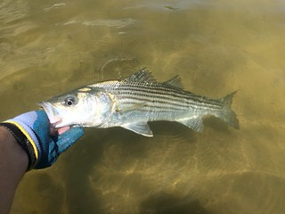 Striped Bass in the water