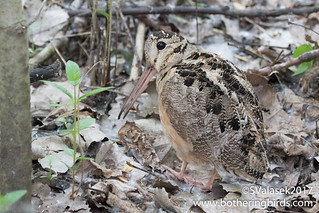 American Woodcock | by Bothering Birds