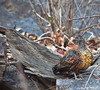 Painted Spurfowl by www.sandeepmall.com