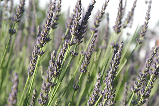 lavender2 | by louisathomson