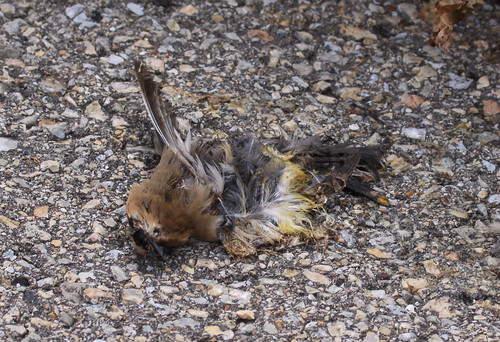 Cedar Waxwing killed by car on Goose Pond Road. | by Laura Erickson