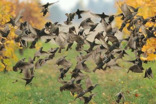 European Starlings (Sturnus vulgaris)~   by Red~Star