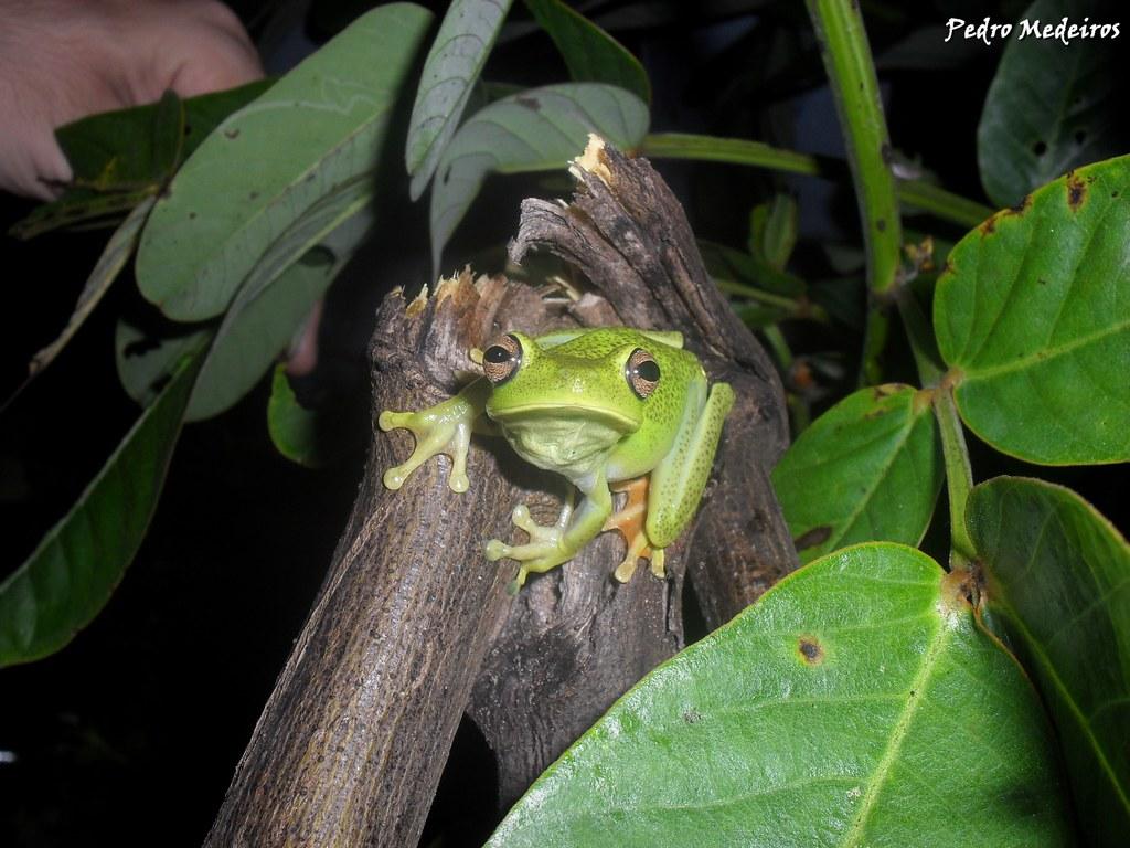 Hypsiboas albomarginatus