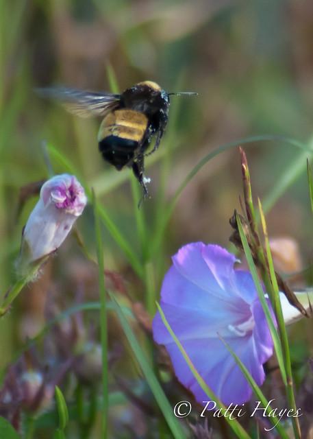 Glorious Bumble Bee