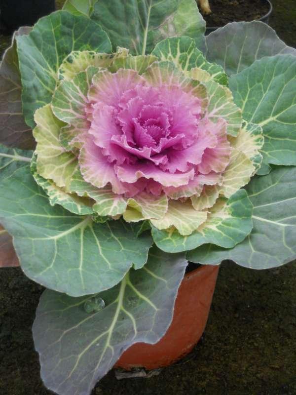 Brassica oleracea v 1