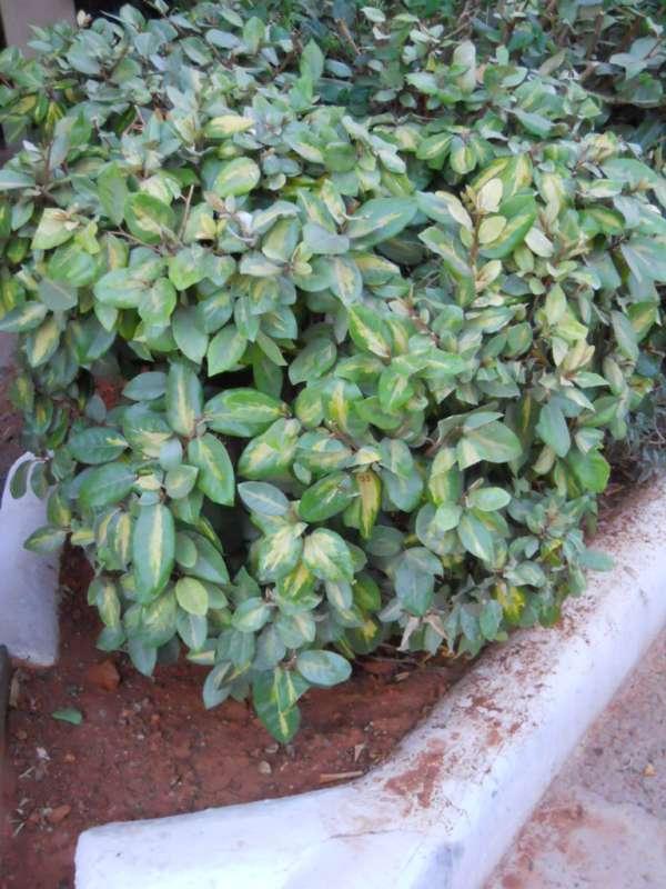 Elaeagnus pungens v 2