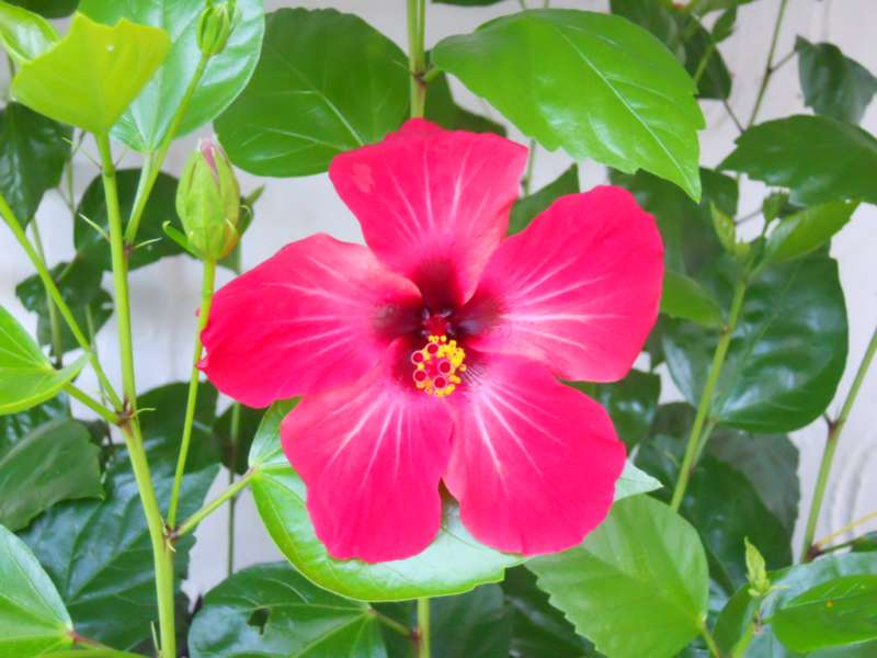 Hibiscus rosa sinensis 'Holiday' 3