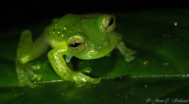 Emerald glass frog | Espadarana prosoblepon