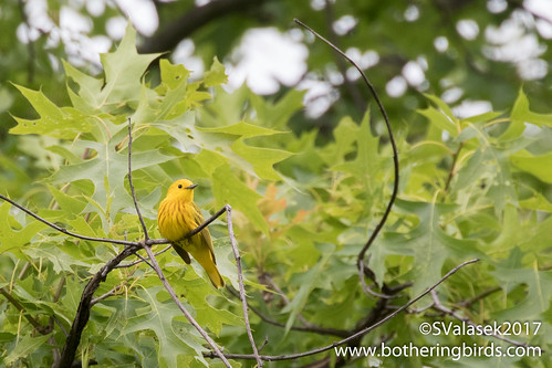 Yellow Warbler | by Bothering Birds
