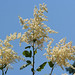 Flickr photo 'Oceanspray - Holodiscus discolor' by: MT Lynette.