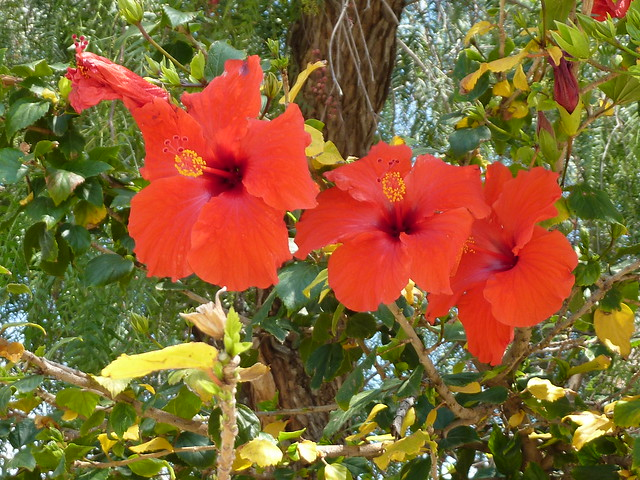 Hibiscus - rosa-sinensis - rose of Sharon