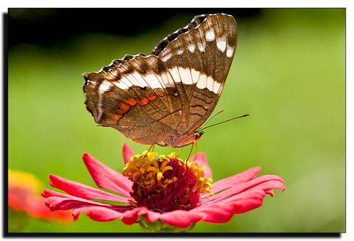 Anartia fatima | by J. Amorin