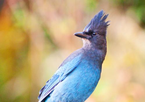 bird fall nature wildlife bluebird stellersjay cyanocittastelleri