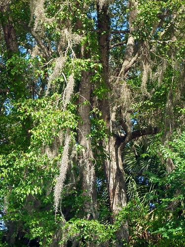 park trees usa leaves vines unitedstates florida spanishmoss vegetation fanningsprings fanningspringsstatepark