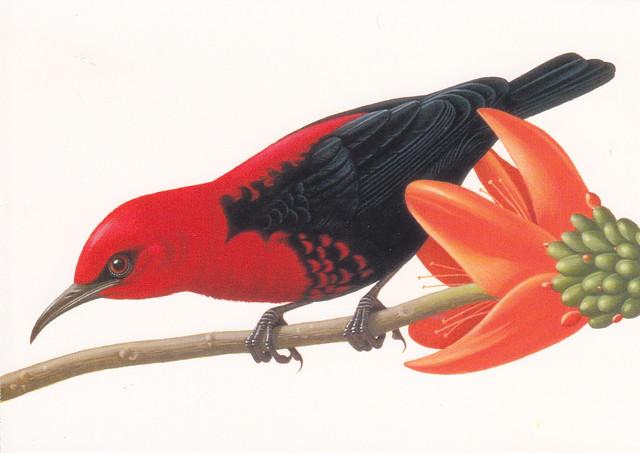 USPS Tropical Birds Cardinal Honeyeater Postcard