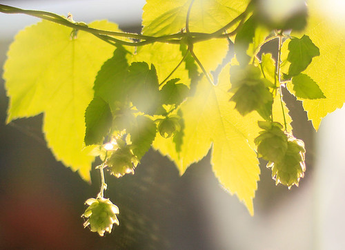 hops in the late afternoon sun | by waferboard